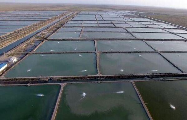 تأمین سویا، مشکل پرورش دهندگان میگوی در استان بوشهر