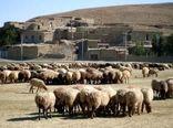 گوسفندان اصلاح نژاد شیروان هر هشت ماه برهدهی دارند