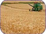 تولید 150 هزار تن گندم در مازندران/ افزایش 18 درصدی خرید گندم