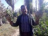 کشاورز بوکانی از هر هکتار زمین 195 تن چغندر قند برداشت کرد
