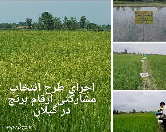 اجرای طرح انتخاب مشارکتی ارقام برنج در گیلان