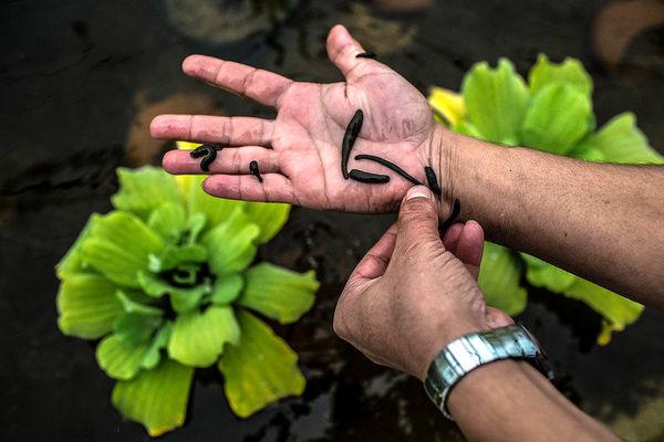 برداشت زالو فقط با اجازه سازمان محیطزیست