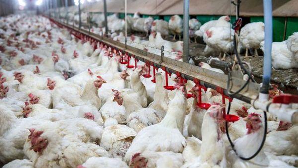 شاخص قیمت محصولات مرغداریهای صنعتی کشور در بهار ١٤٠٠