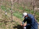 اجرای طرح پیوند سرشاخه کاری باغات سیب در شهرستان دماوند