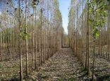 توسعه اراضی مستعد زراعت چوب با استفاده از آب نامتعارف