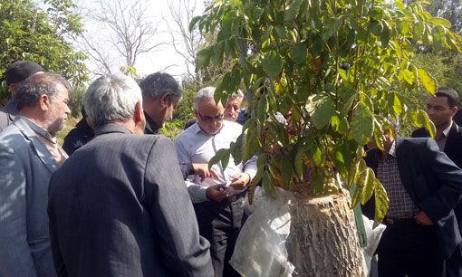 تولید 3500 تن گردو در شهرستان عجب شیر