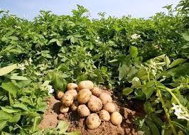 برداشت بذر پیاز و ست پیاز خوراکی از مزارع شهرستان بردسیر