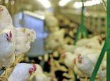 کردستان یکی از قطب های اصلی تولید گوشت مرغ در کشور