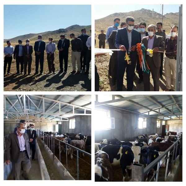 افتتاح طرح پرواربندی گوساله 50 راسی در روستای کنگره
