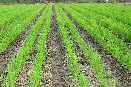 خشکهکاری برنج و صرفه جویی 60 درصدی آب