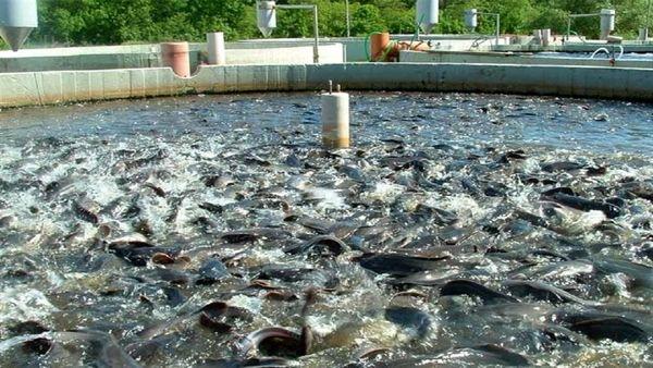 صادرات ماهی گرمابی گلپایگان به کردستان عراق