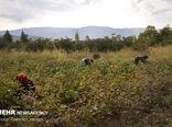 ۱۲۰۰ تن پنبه از مزارع آران و بیدگل برداشت شد