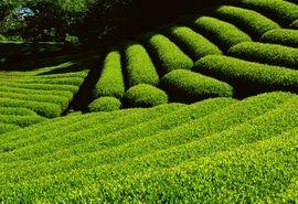 27 هزار و 500 تن چای خشک امسال تولید شد