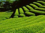 افزایش 15 درصدی تولید برگ سبز چای با احیا و بهزراعی باغات