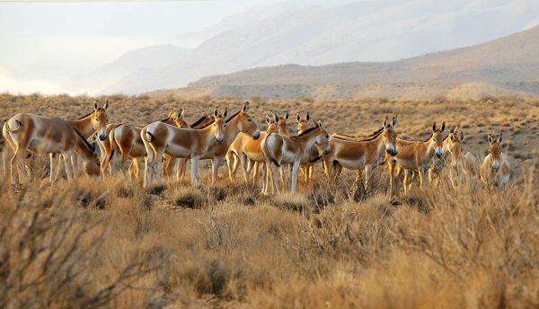 تشدید حفاظت از گورخر ایرانی در منطقه بهرام گور