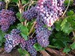 70 درصد انگور تاکستانهای شیروان به کشمش تبدیل شد