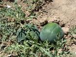 ۲۴۰۰ تن هندوانه دیم از اراضی کشاورزی شهرستان البرز برداشت شد