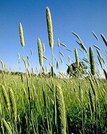 کاشت گیاه کتان برای اولین بار در مرودشت