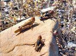 مبارزه با ملخهای صحرایی در  اراضی ایلام